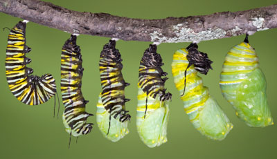 A monarch caterpillar embedding it's cremaster and forming the cocoon.