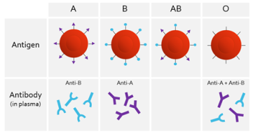 ABO System
