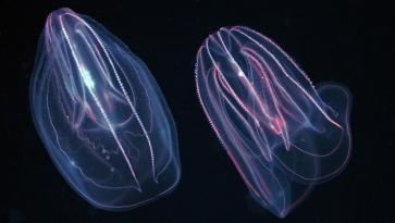 Comb-Jelly