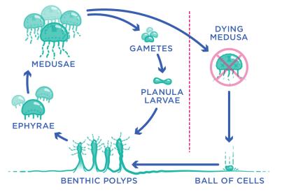 eebabo-jellyfish-life-cycle