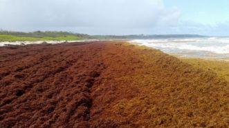 Barbados sea tutle project