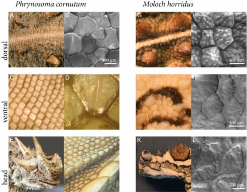 Scale-types-of-moisture-harvesting-lizards-A-F-Phrynosoma-cornutum-G-L-Moloch