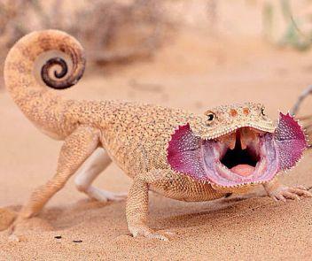 Toad-headed agama