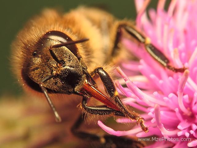 honey-bee-proboscis